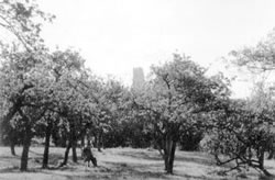 St Michael's Tower on the Tor, seen through one of Avalon's many apple orchards.